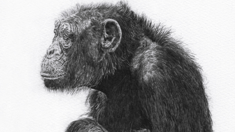 Animals are people too chimp crop AdamBatchelor