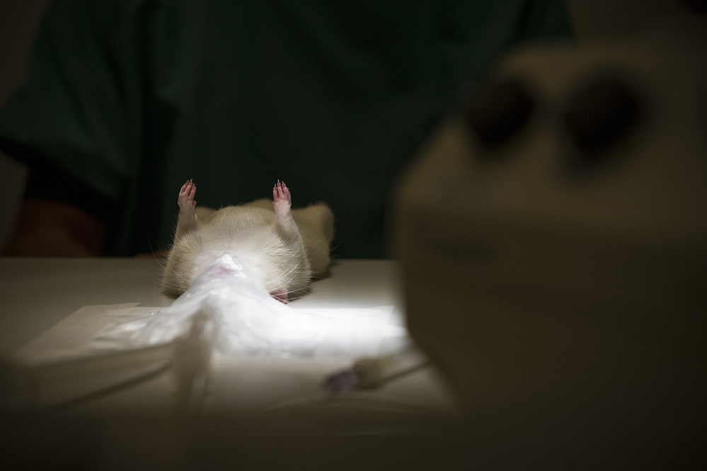 A white laboratory rat lying on its back